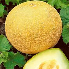 Seeds Melon Honey Titovka Yellow Sweet Organic Heirloom Russian Ukraine