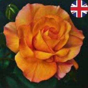 ORANGE BOWER ROSE SEEDS GARDEN PLANT GARDENING 20% OFF WITH MULTIBUY