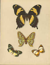 Gran impresión de la mariposa ~ PAPILIO Homerus Graellsia isabellae mynes Sestia
