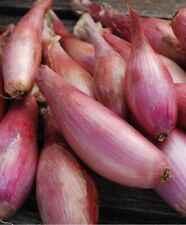 FR121 BANANA SHALLOT *ZEBRUNE* x50 seeds HERITAGE SUPERB GOURMET HIGH YIELD