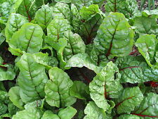 200 Ruby Red Chard Seeds Jumbo Pack Non GMO Additional Packs Ship for Free