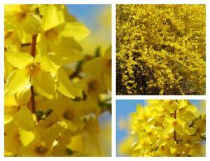Forsythie Lynwood 60/100 starke im Topf ~ klassischer Frühlingsblüher