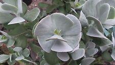 Cotyledon orbiculata - succulent plant 6cm