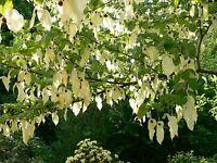Davidia Involucrata Seed, Hardy Dove Tree, Handkerchief or Ghost Tree, USA