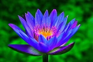 ✅ Lotus Flower Lotus Aquatic Plants Water Seed water lily colorful seeds LS22-03