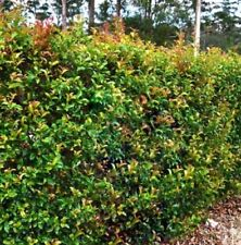 SUNSET LILLY PILLY Syzygium australe native hedging orange-tips plant 140mm pot