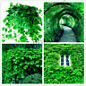 20PCS Seeds Green Boston Ivy Bonsai Plants Home Garden Decoration Outdoor Plants