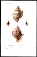 Rare 1834 Louis Kiener Ranella Shell Print Original Hand-Coloring Fine Condition
