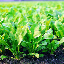 "400Spinach ""Bloomsdale Long Standing"" Seeds HEIRLOOM NON GMO TT079"