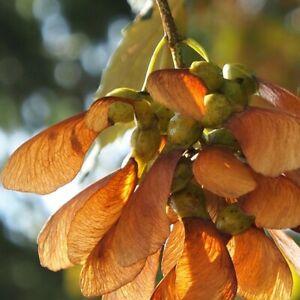 Sugar maple tree seeds 20. Acer saccharum