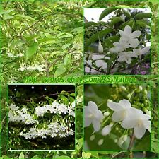 50 Seeds, Wrightia religiosa Benth, Mok Flower Tree, Very fragrant