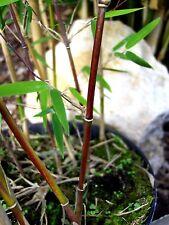 Fargesia Jiuzhaigou 1, roter Bambus 140-150cm, filigraner Gartenbambus