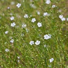 Wildflower Seeds-Pallido - 150 semi di lino
