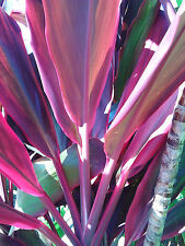 40 x Red Wings Tropical Organic Cordyline Plant cuttings logs, free instruction