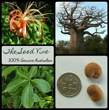 5 MADAGASCAN BAOBAB TREE SEEDS (Adansonia madagascariensis) Drought Hardy
