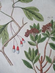 Bertuch Original Colored Print Sassafras Jamaica Pepper - 1790#