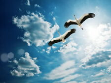 Flying cranes Sky Amazing animals Wall Print POSTER FR