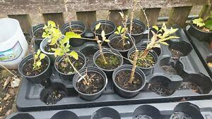 Lycium barbarumGoji Berry Plant in 9cm Pot