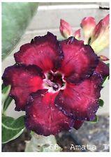 succulent desert rose plant,adenium No68 Amata I,usa free shipping