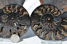 "RARE 1 in 100 BLACK PAIR Ammonite Crystal LARGE 122mm Dinosaur FOSSIL 4.7"" n2166"