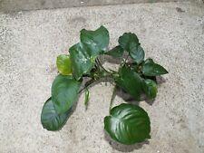 Anubias barteri var. barteri 'Broad Leaf' - Hardy Aquatic Plant