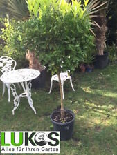 Orangenbaum Citrus oranier Orangen Baum Gesamthöhe ca. 80 - 120 cm TOP Qualität