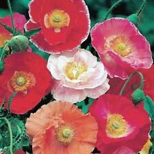 Poppy Shirley's Double Mix Seed Four Mid-Summer Colours Good Cut Flower