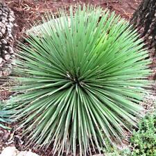 Agave stricta var. nana silver-blue Pflanze -10 Grad - S32