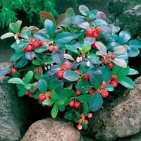 Wintergreen- 25  Seeds- BOGO 50% off SALE