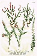 """Weinmann's """"Phytanthoza Iconographia"""" - """"ERICA VULGARIS"""" - Mezzotint -1737"""