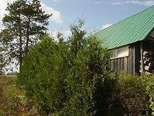 """White Cedar Trees Arborvitae Thuja 12-18"""" Lot Of 25"""