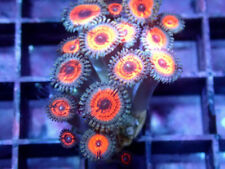 Ultimate Wars Zoa / Paly -Wysiwyg Live Coral Frag- Coral Savers