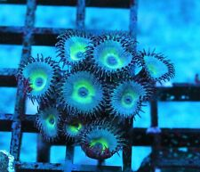 Badass Mind Blowing Palys Zoas / Palys - Badass Frags Wysiwyg Live Coral Frag