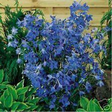 Delphinium / Larkspur- Butterfly blue - 50 Seeds