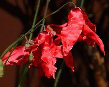 Selten•Roter Scheinmohn•10 Samen/seeds •Meconopsis punicea•winterhart•Mohn•Poppy