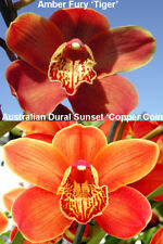 "Cymbidium Deepest Orange potential Amber Fury x ADSS 150mm 6"" pots orchid"