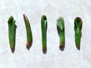 x5 Crassula Ovata Gollum Jade Mini cuttings 6 cm leaves Succulent LUCKY PLANT