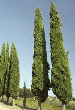 50 Samen Mittelmeer-Zypresse (Cupressus sempervirens), Echte Zypresse, Bonsai