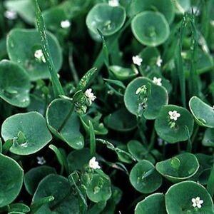 Purslane- Winter- Claytonia Perfoliata- 100 Seeds- BOGO 50% off SALE