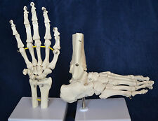 Medical Anatomical Hand Model and Foot Model, Life size