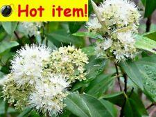2 x NATIVE LEMON MYRTLE PLANTS,FRUIT TREE,BUSH FOOD,BACKHOUSIA CITRIODORA,HERB