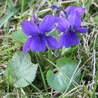 Kings Seeds - Viola Odorata Sweet Violet - 50 Seeds