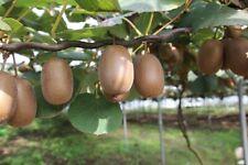 Jetzt pflanzen Kiwi Kletterpflanze Blumen Obst Gemüse für den Garten Balkon Deko