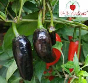 Shishito Black a Sweet Japanese Chilli Sustainably Grown in Australia 10 Seeds