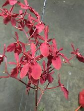Renanthera Kalsom blooming size! Great roots! Vanda orchid. blooming size!!