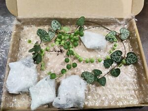 String Of Pearls And Hearts - 4 rooted cuttings, each cuttings is 20cm or longer