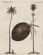 Kokosnuß Kokos coconut coco Palme palm Bertuch Kupferstich antique print 1800