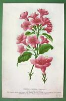 FLOWERS Rose Colored Weigela - COLOR Litho Print Botanical