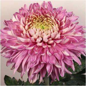 Chrysanthemum 'Holiday Purple' X 6 Plug Plants - Good for Cut Flowers
