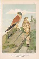 Rötelfalke Falco naumanni Chromolithographie von 1903 Falken Falcon Falk